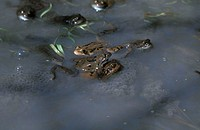 Common frogs in the water in the middle of eggs during the spawning season - French Alps - Haute Savoie