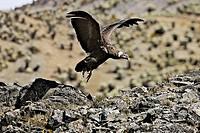 Andean Condor (Vultur gryphus). Andes de Merida. Pico de Aguila. Venezuela