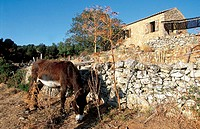 France, Corsica, Sagone, donkey and Corsican shelter (thumbnail)