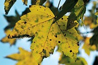 Autumn leaves : plane tree