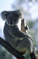 Australia, koala at the Sydney zoo