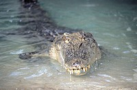 Australia, Kakadu national park, saltwater crocodile