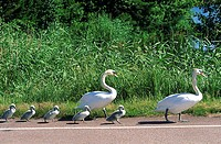 Finland, Ecker÷, family of swans