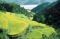 South Korea, Posong region, rice paddies