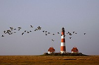Lighthouse. Barnacle Geese. Branta leucopsis. Westerhever. Schleswig-Holstein, Germany