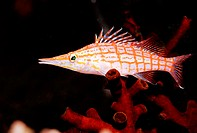 Longnose hawkfish, Oxycirrhites typus. Indian Ocean, Ari Atoll. Maldives Islands.