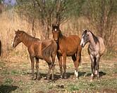Young-Portuguese-Horses