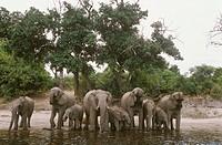 African-Elephant-family-drinking,-Chobe-Natl-Park-Botswana-(Loxodonta-africana