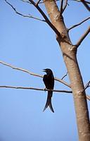 Black-Drongo-(Dicrurus-adsimilis),-Karnataka,-S.-India