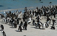 Jackass-Penguins-on-the-Beach-(Spheniscus-demersus)-South-Africa