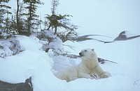 Polar-Bear--Manitoba,-Canada