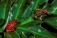 Poison-Dart-Frog-(Debdrobates-histrionicus)-2-color-morphs