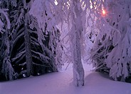 Sunset-in-Hoarfrosted-Pine-Forest,-Storklinta,-Vasterbotten,-Sweden