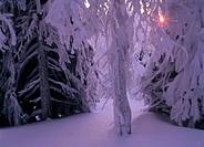 Sunset-in-Hoarfrosted-Pine-Forest,-Storklinta,-Vasterbotten,-Sweden