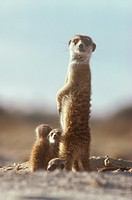 Meerkat-or-Suricate-w/-young-looking-at-camera,-Kalahari-Gemsbok-N.P.,-S.-Africa