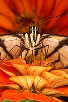 Tiger-Swallowtail-Butterfly-(Pteroourus-glaucus)