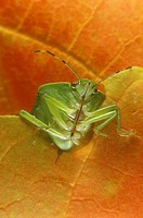 Green-Stink-Bug-(Acrosternum-hilare)-note-sucking-mouth-part