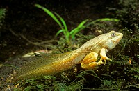 Bullfrog-Tadpole-with-Legs