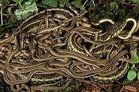 E.-Gartern-Snake-w/-newborn-young-(thamnophis-sirtalis)-NJ