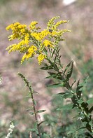 Early-Goldenrod-(Solidago-juncea)-Riding-Mtn-NP,-Manitoba