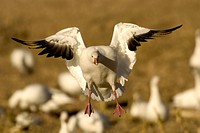 Snow-Goose--(Chen-caerulescens)--In-flight,-preparing-to-land--Bosque-Del-Apache-NWR-New-Mexico