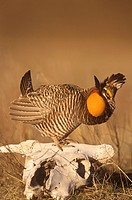 Greater-Prairie-Chicken-displaying-on-Steer-Skull-(Tympanuchus-cupido),-E.-CO