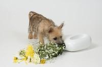 Ziggy-Stardust,-Cairn-Terrier-puppy