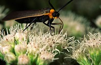 Dayflying-Virginia-Ctenucha-moth-(Ctenucha-virginica)--feeding-on-boneset-flower.-Ithaca,-NY