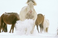 Spanish-Mustang-Stallion-Charging-Cayuse-Ranch/WY---------PR