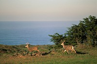 Two-mule-deer-bucks-run-across-green-grass-field-next-to-ocean,-Point-Reyes-National-Seashore,-Marin,-California