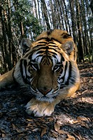Indian-Tiger-male