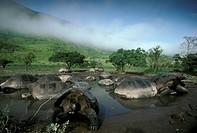 Giant Galapagos Tortoises rainy Season (Geochelone e. vandenburghi), Isabela I.