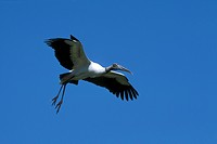 Wood-Stork-in-Flight-(Mycteria-americana),-St.-Johns-Co.,-FL