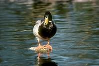 Mallard-Duck-(Anas-platyrhynchos)