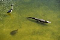 Am. Alligator, Great Blue Heron & Soft Shell Turtle, Gatorland, Orlando, FL