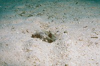 Blind Shrimp & Seeing-eye Goby, share burrow, Red Sea
