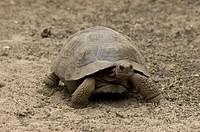 Young of South Isabela race of Galapagos Tortoise, Geochelone nigra, Giant Tortoise Breeding Center, Isabela Island, Galapagos, Ecuador