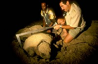 Measuring and tagging Loggerhead Turtle (C. caretta), Maputoland, S. Africa