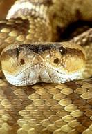 Black-tailed Rattlesnake/n(Crotalus molossus)/nSE Arizona