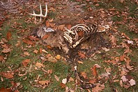 White-tailed Deer Buck Carcass deteriorating (Odecoileus virginianus)