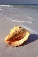 Queen Conch washed ashore (Strombus gigas Linne) Naples, FL (set-up)