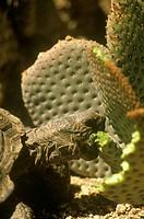 Desert Tortoise   (Gopherus agassizii)  Joshua Tree NM/CA