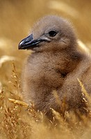 Falkland-Skua-Chick-(Catharacta-skua-antarctica)-Falkland-Islands