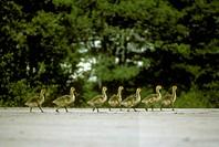 Canada-Geese-chicks/n(Branta-canadensis)/nSeney-NWR,-MI
