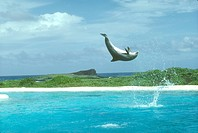 Atlantic-Bottlenose-Dolphin/n(Tursiops-truncatus)/nJumping/Hawaii