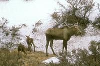 Moose-------(Alces-alces)-Newborn-Calves-Learn-to-Stand-----Denali-NP/AK