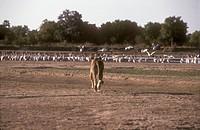 Lioness-approaching-Pelicans-(Panthera-leo),-South-Luangwa-NP,-Zambia