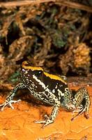 Golfodulcean-Poison-Arrow-Frog-(Phyllobates-vitattus),-Costa-Rica,-S.-Pacific-side