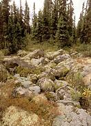 Taiga-Boreal-Forest,-Parc-des-Grands-Jardins,-Lichen,-Charlevoix,-Quebec,-Canada