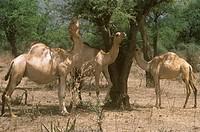 Dromedary-Camels-browsing-(Camelus-dromedarius),-Western-Kenya